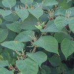 Japanese knotweed herbicide
