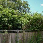 Japanese knotweed herbicide treatment