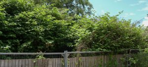 Japanese Knotweed Removal Dudley