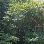 Japanese knotweed treatment