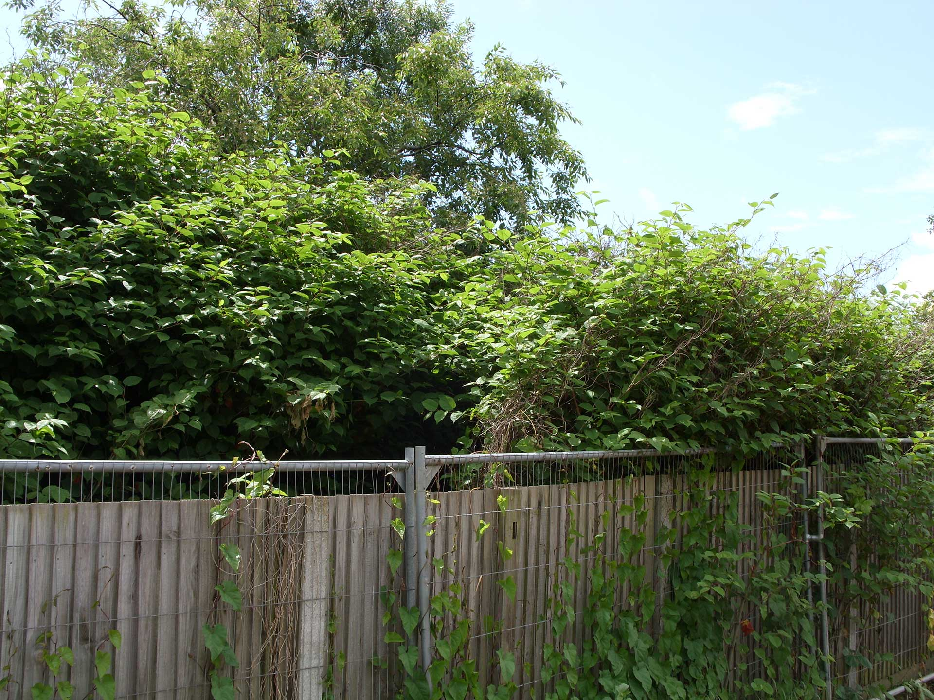 Japanese Knotweed Eradication